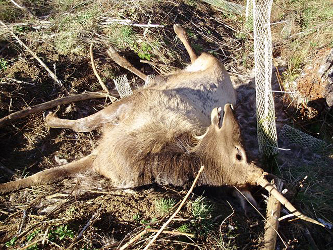$1K reward in Oregon Coast elk poaching case