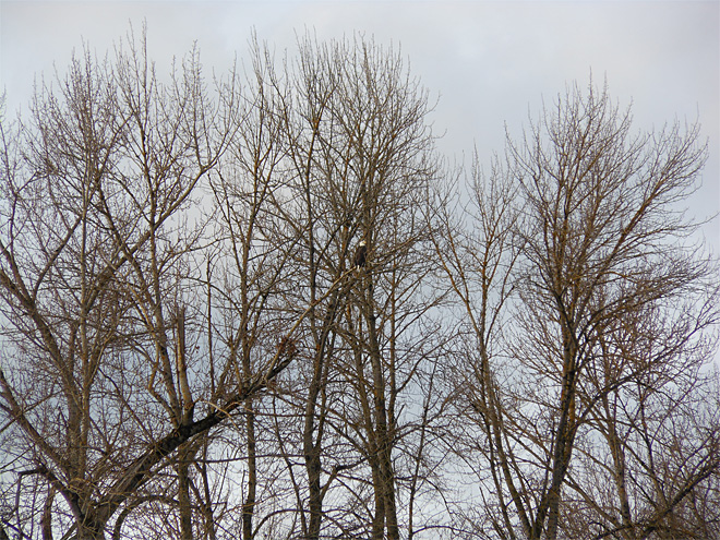 Bald eagle spotted at Delta Ponds